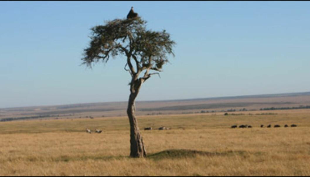 <strong>Typisk Afrika:</strong> Store, åpne savanner og et ensomt akasietre med en gribb i trekronen.
