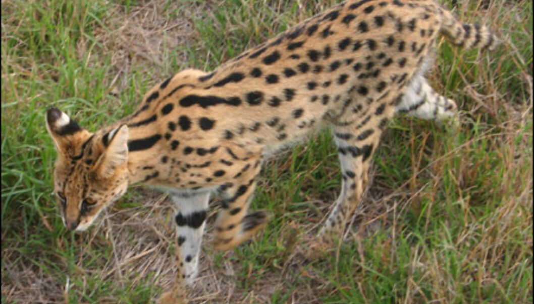 Masai Mara huser ikke bare løver, leoparder og geparder. Er man heldig får man også sett et fjerde kattedyr - servalen.