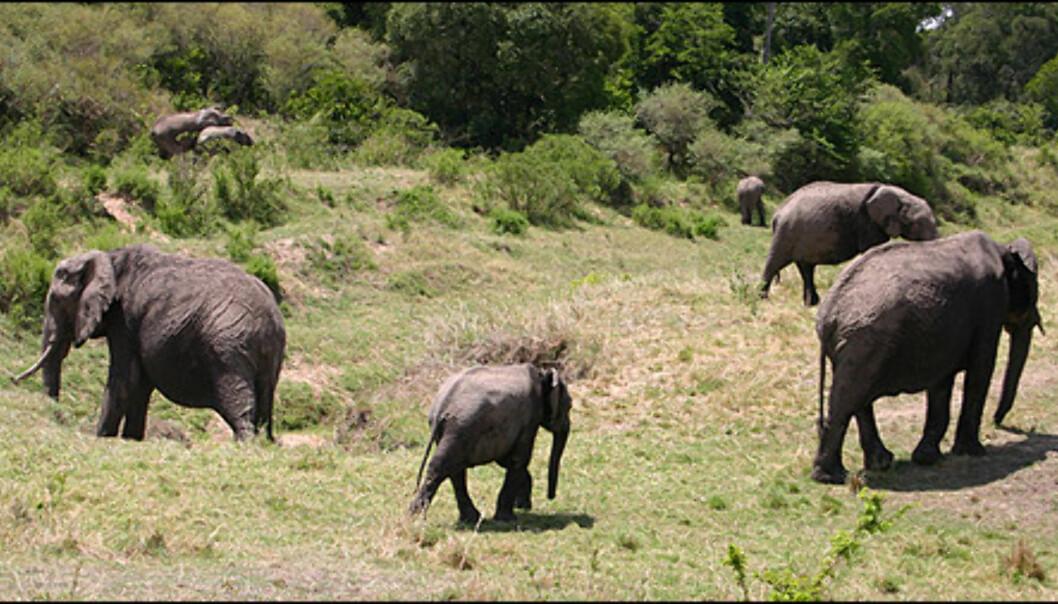 Også elefanten er et vanlig syn på Mara.