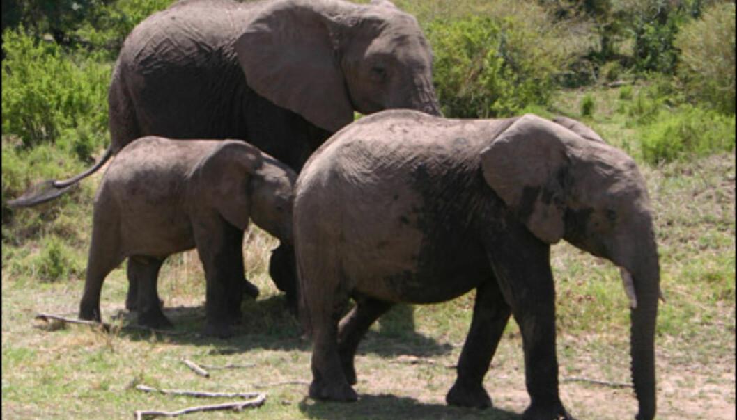 Voksne utgaver av verdens tyngste landpattedyr har ingen naturlige fiender.