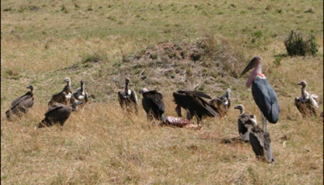Gribber og marabu-storker tar for seg av restene etter de store rovdyrene.