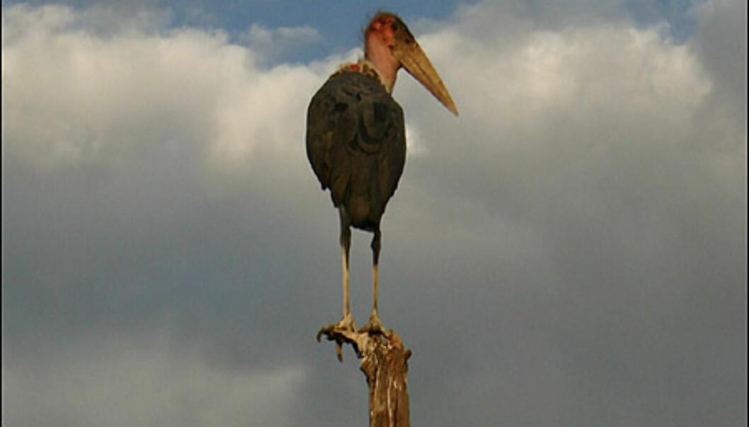 Marabu-storken, som både er kjøtt- og åtseleter, er blant savannens største fugler.