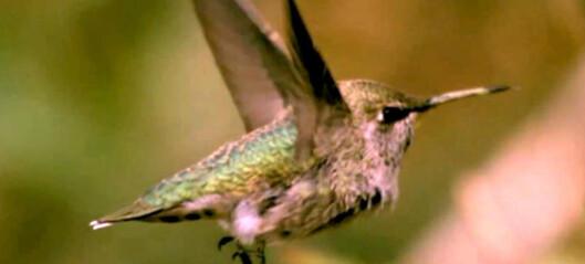 Filmer klodens raskeste fugler i slowmotion for å lære hemmelig flyteknikk