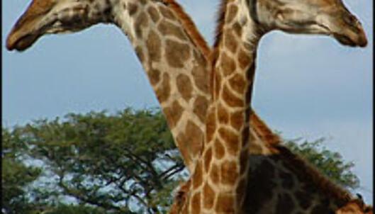 <strong>Oppvarming:</strong> To giraffer som koser - blant de mer nusselige tingene du kan se på SF Zoos årlige sextur. <I>Foto: Gry Gaard</I> Foto: Gry Gaard