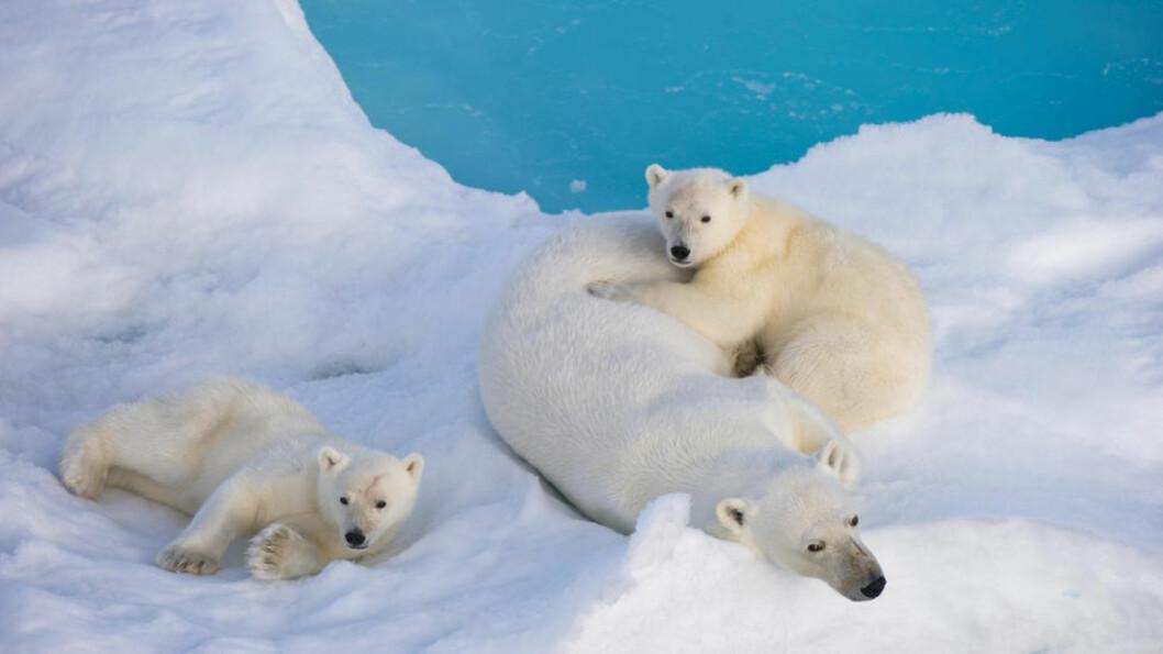 VIL PÅ NETT: En isbjørnfamilie slapper av på Svalbard. Nord for 79 grader nord, nærmere bestemt bosetningen Ny-Ålesund, finnes det ikke internett. Økt oljeaktivitet i nordområdene tvinger fram behovet, og nå har bl.a. Norsk romsenter startet opp et nytt nettprosjekt. Foto: REUTERS/Florian Schulz/NTB Scanpix