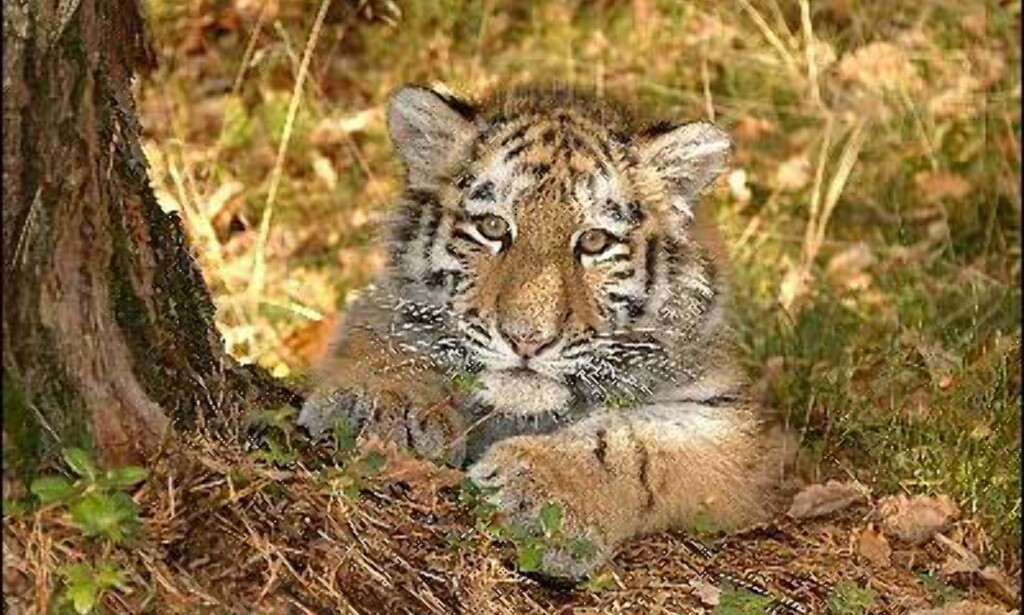 Høst, og den lille sibirske tigerungen er ikke så liten lenger. Fem måneder gammel veier Tinka 22 kilo.
