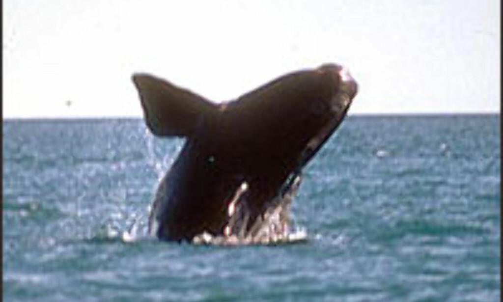 Whale trail på New Zealand i sommer? Foto: ARgentinas turistkontor