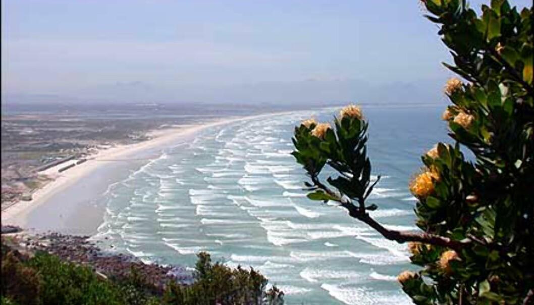 En stor protea i forgrunnen, False Bay i bakgrunnen. I denne store bukten finner du områdets beste surfestrender og varmeste vann. Dessuten er området et glimrende utgangspunkt for hvithai-, hval- og selsafarier. Cirka 25 kilometers bilvei fra Cape Town.
