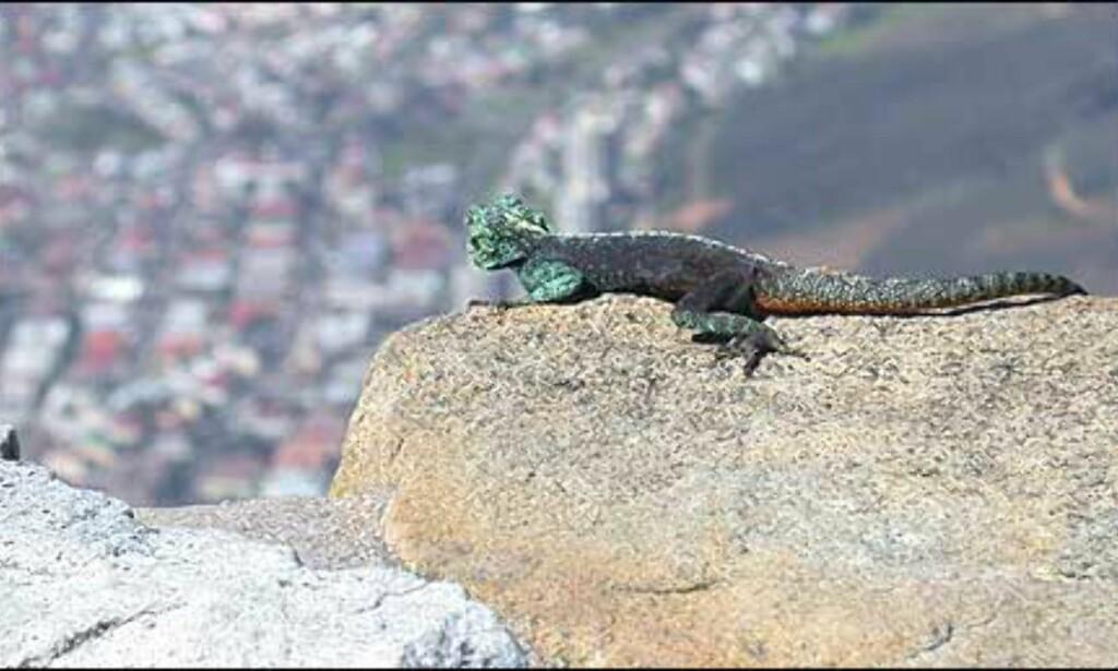 Firfisle med utsikt - fra Table mountain.