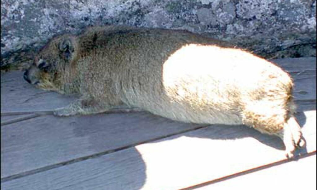 Dassie eller Rock Hyrax, ingen gnager men faktisk elefantens nærmeste nålevende slekning anatomisk sett. Disse tamme krabatene er vanlig å treffe på Table mountain, den på bildet er ikke død slik det kan se ut, men ligger bare i skyggen og tar en blund. Vær imidlertid oppmerksom på at de kan bite, så ikke gi dem mat.