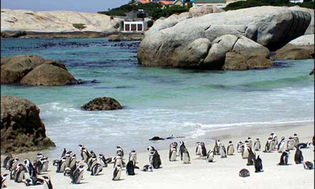 Boulder Beach er et av stedene der du kan treffe pingviner. Her bor en stor koloni, og du betaler for adgang til området.