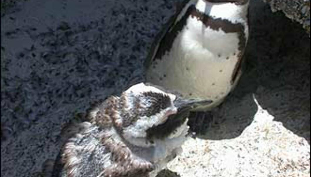 Pingviner i fjærskifte, november er inngangen til sommeren, og det er klart for tynnere drakt.