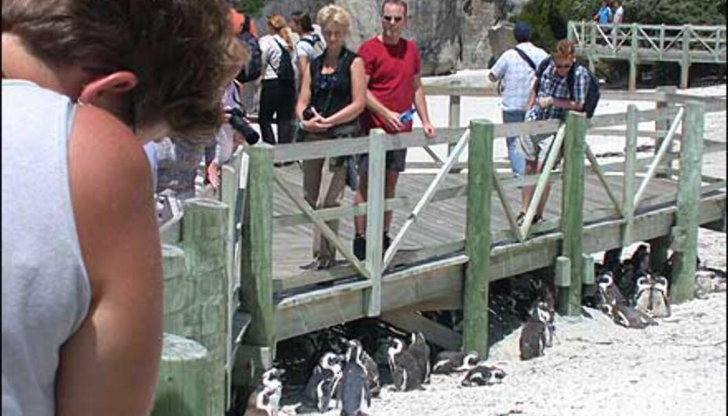Pingviner er populære krabater, og overhode ikke redd for menneskene som flokker seg over dem.