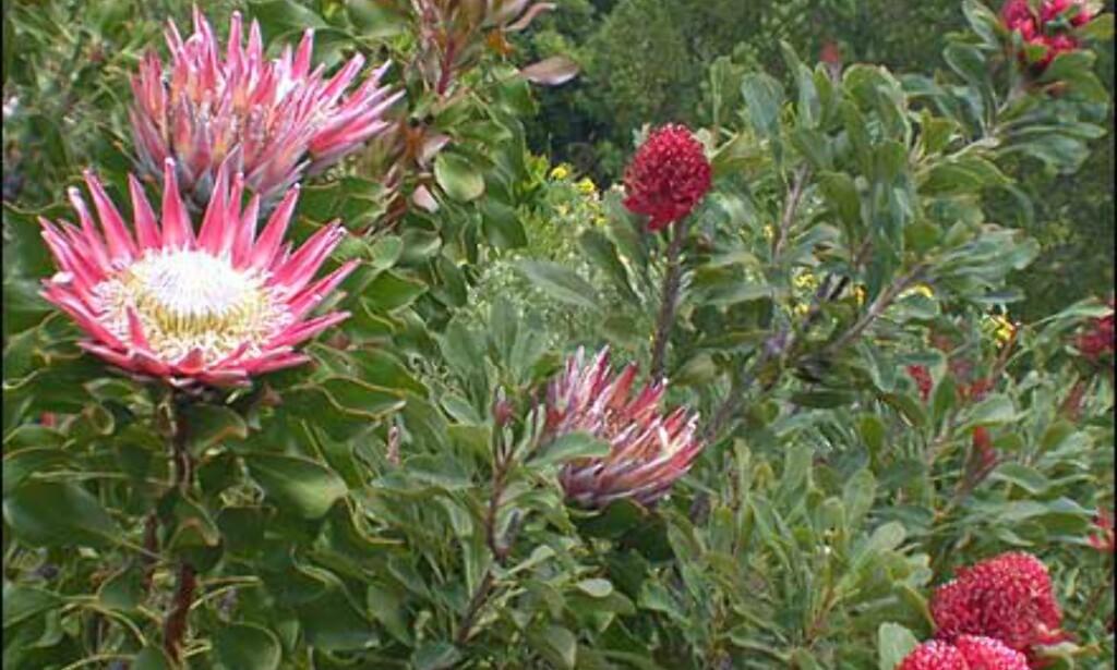 Kongeprotea i full blomst.