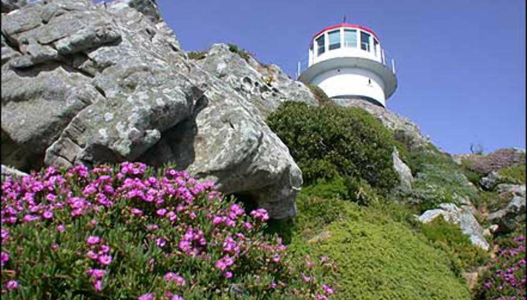 Flere eksempler på Fynbos. Her fra naturreservatet på Kapp det gode håp.