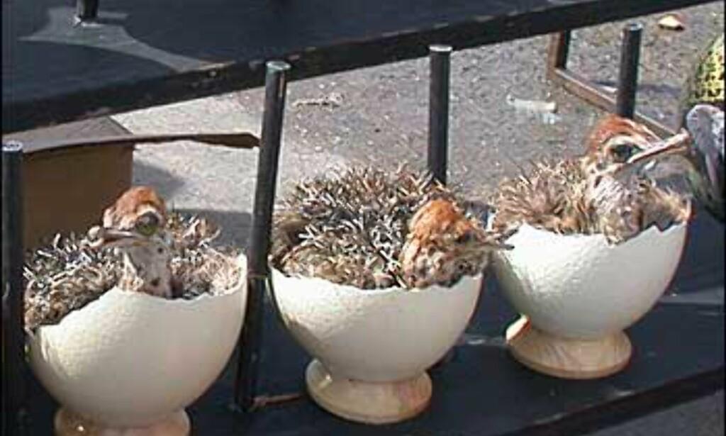 Dyreliv i makaber form. Dette er utstoppede strutsekyllinger i egg, omgitt av mer dekorative strutseeggsuvenirer.