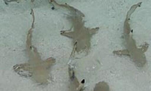 Småhaier var det flust av - og de visste godt når middagsrestene ble kastet på sjøen.