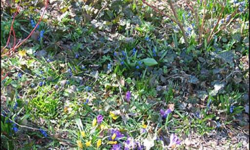 Blomstene spirer vanligvis litt før i Danmark.
