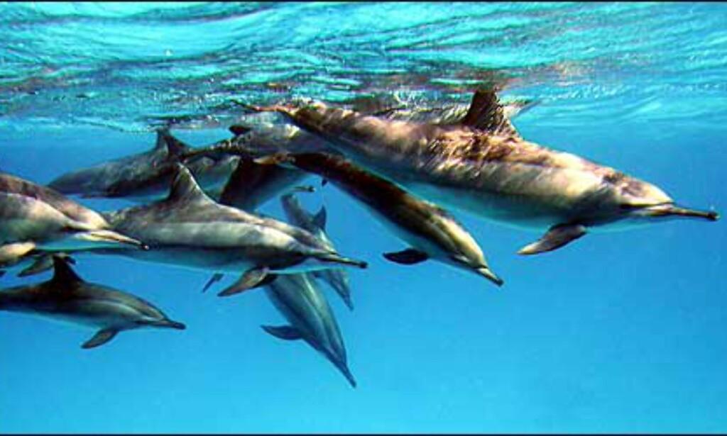 G: Delfiner i Egypt - Nils Tokle Foto: Nils Tokle