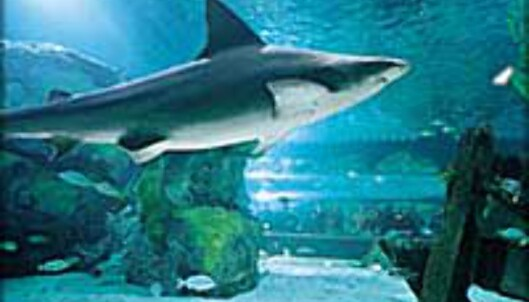 Farlig fangst? Hai serveres i form av biff eller haifinnesuppe.