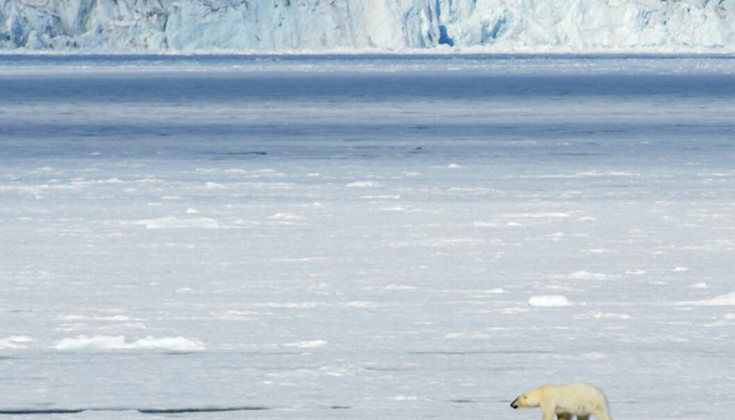 Isbjørnen er verdens største rovdyr, og mange turisters høyeste ønske er å få oppleve den når de kommer til Svalbard. Vi så åtte stykker på vår reise langs polarisen. Ingen kom så nære som vi håpet - noe som avhenger av hvor nysgjerrig bjørnen er på båten. Vi fikk likevel se kongen av Arktis på betryggende hold - en av verdens mest eksklusive naturopplevelser.   Foto: Hans Kristian Krogh-Hanssen