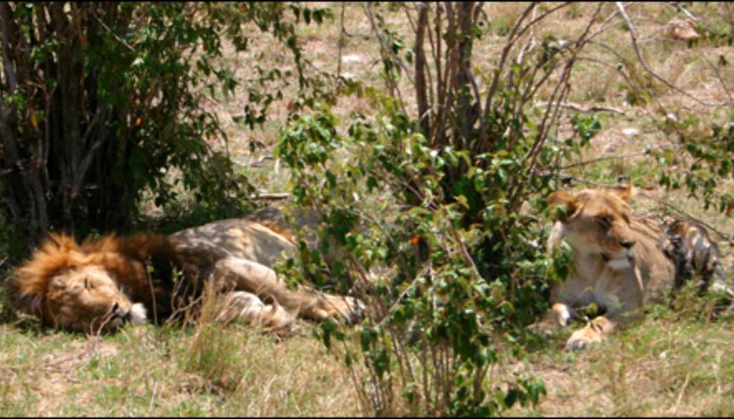 Masai Mara har en av Afrikas tetteste løvebestander.