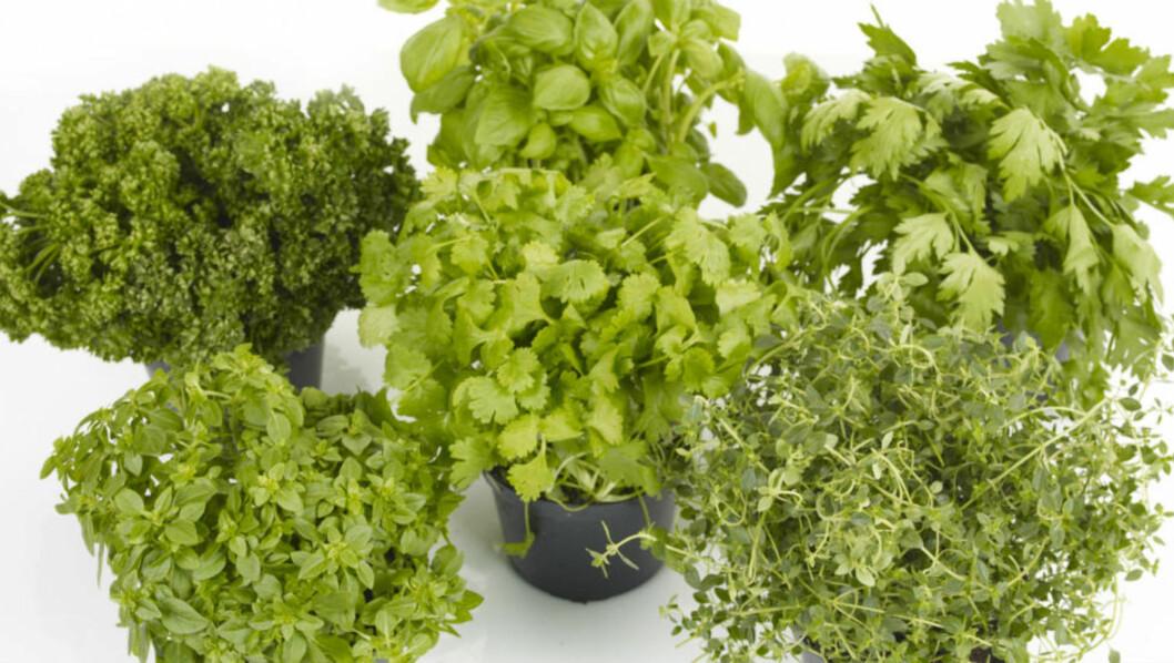<strong>SUNT OG GODT:</strong> Krydderurter er ikke ment å være pynt på kjøkkenbenken, men skal spises i store mengder og kan brukes i all slags mat.  Foto: Opplysningskontoret for frukt og grønt