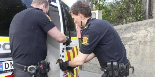 image: Andemor påkjørt, politiet måtte rykke ut for å redde andungene