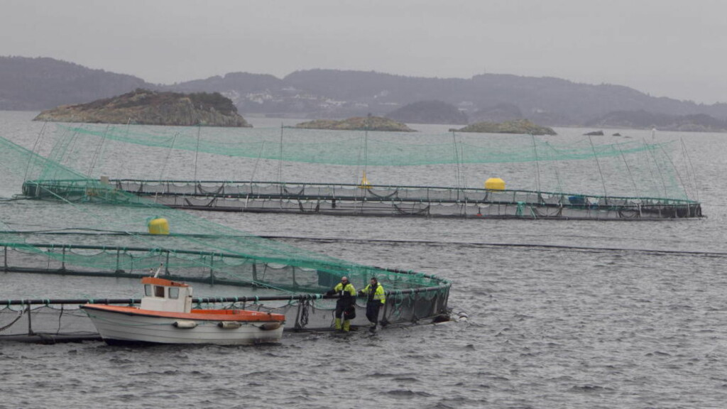 SLIK PRODUSERES NORSK LAKS: I oppdrettsanlegg. Avfallsstoffene slippes rett ut i havet. Her fra et tilfeldig anlegg i nærheten av Bergen. Foto: Heiko Junge / Scanpix.