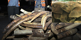 image: Dette er en gullgruve for kriminelle, men det kan utrydde den afrikanske elefanten