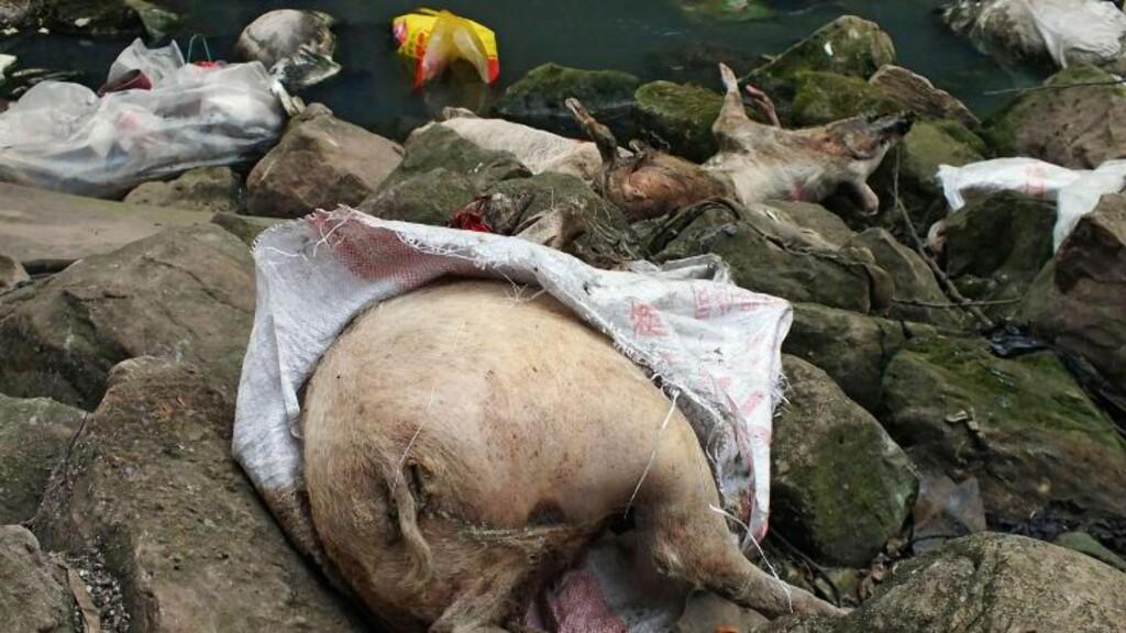 GRISEDØD: Over 13 000 døde griser ble forrige måned funnet i en sideelv til Yangtze. Myndighetene sier nå at de ikke har vært smittet av den nye fugleinfluensaen som har tilpasset seg pattedyr. Foto: AFP / NTB Scanpix