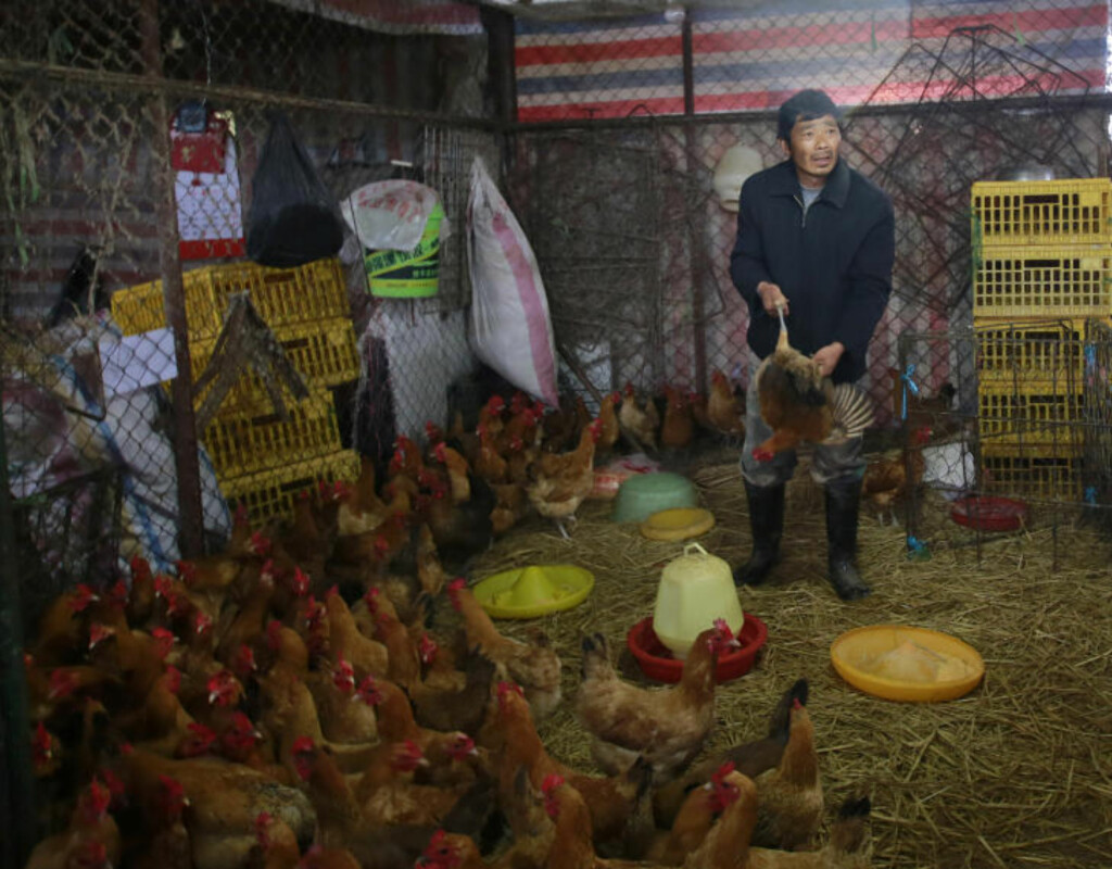 VERTSDYR? En mann arbeider med levende kyllinger på et fjærkremarked i Shanghai. Det nye fugleinfluensaviruset smitter ikke mellom mennesker, men de fleste syke har nær kontakt med dyr. Foto: AP / NTB Scanpix