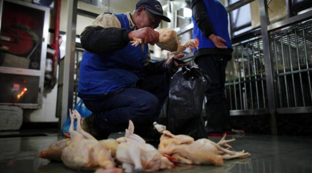 KYLLINGFRYKT: Det er ikke kjent om kyllinger eller andre dyr er verter for viruset som nettopp har begynt å smitte mennesker. Sykdommen ble først annonsert av WHO 1. april i år. Foto :REUTERS / Carlos Barria / NTB Scanpix