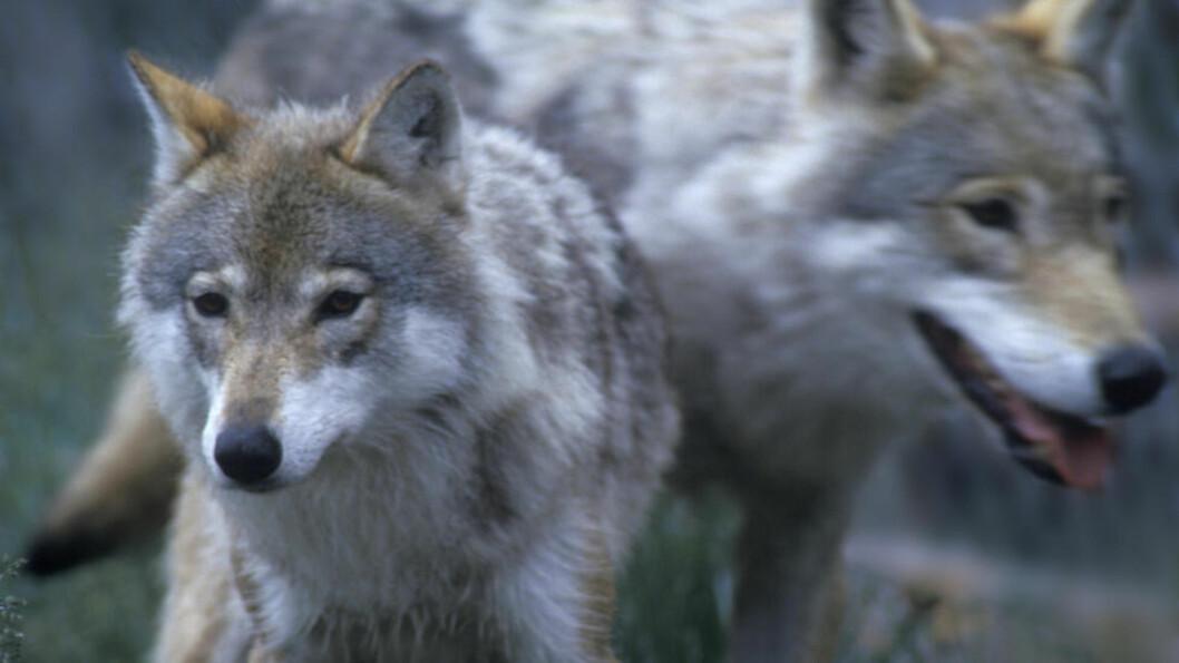 Av de tretten ulvene som har ynglet i Norge de tre årene, er åtte sporløst forsvunnet. Ulveforskerne antar at de fleste er drept under ulovlig jakt. Illustrasjonsfoto: Per Løchen / SCANPIX .