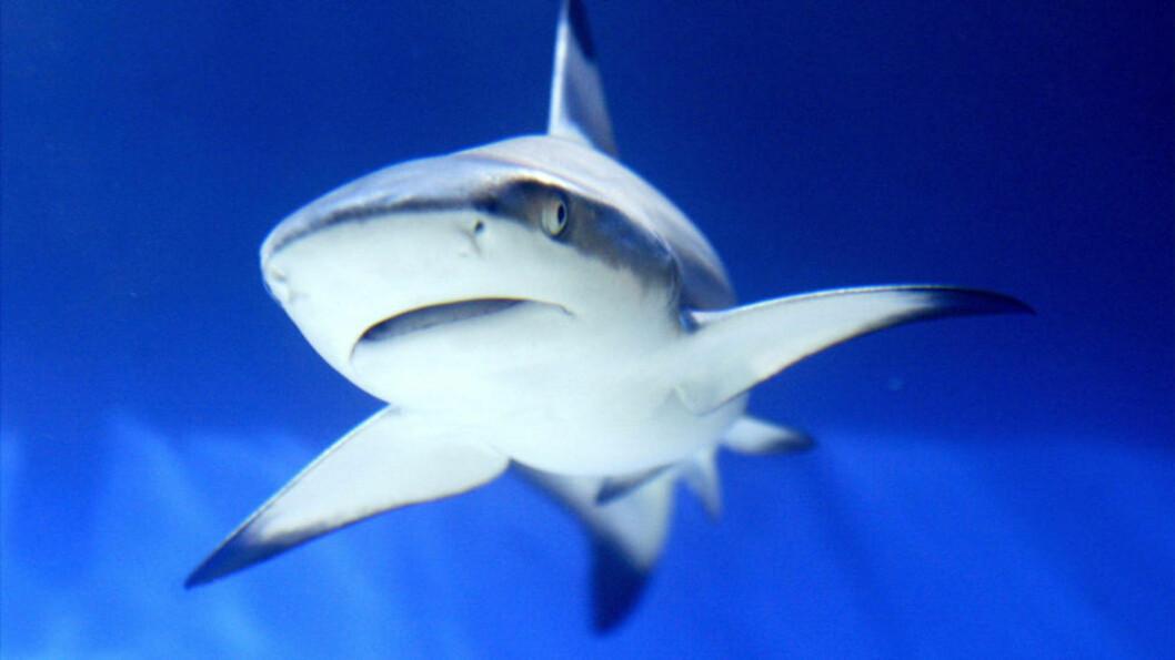 <strong>740 ANGREP:</strong> Mer enn 35 arter hai er blitt satt i forbindelse med angrep på mennesker. Fra 1580 til 2012 er det rapportert om rundt 740 uprovosertre angrep, der om lag 150 har endt med dødelig utgang, viser oversikten fra Florida Museum of Natural History. Foto: AFP PHOTO/Mustafa Ozer