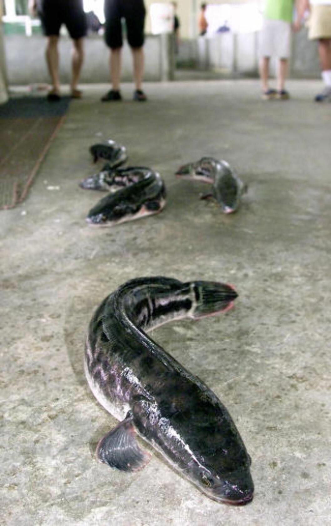 <strong>ÅLER SEG FRAM:</strong> Slangehodefisken viser sin evne til å ta seg fram på land. Bildet er tatt på et oppdrettsanlegg i Singapore. Foto: JONATHAN SEARLE / REUTERS / NTB SCANPIX