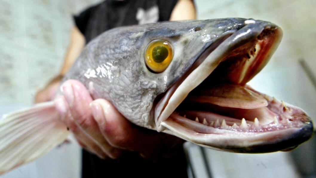 <strong>SKREMMENDE:</strong> Slangehodefiskens egenskaper er så skremmende at myndighetene har gått til det uvanlige skritt å forby besittelse, salg og transport av både fisken og eggene.Foto: ED WRAY / AP / NTB SCANPIX