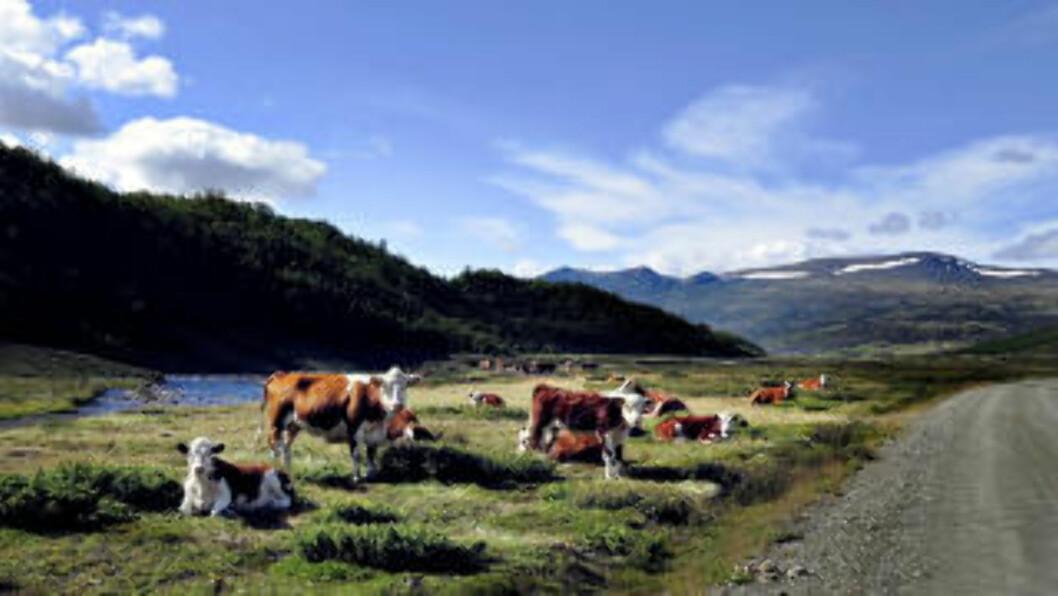 <strong>OKTOBER:</strong> Grimsdalsvegen går fra Folldal til Dovre i nordre delen av Rondane. Dette bildet er fra september mens det ennå er for for kveget. Foto: OLE C. H. THOMASSEN