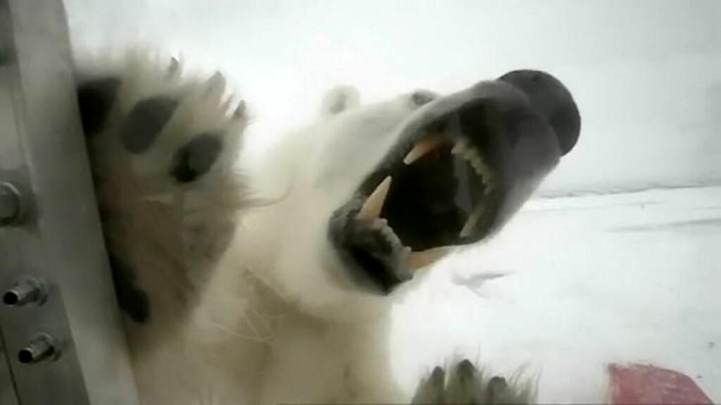 ANGRIPER: Isbjørnmammaen ville ha meg til lunsj, sier Gordon Buchanan, fotografen som fulgte en isbjørnfamilie på nært hold i ett år. Foto: NTB Scanpix