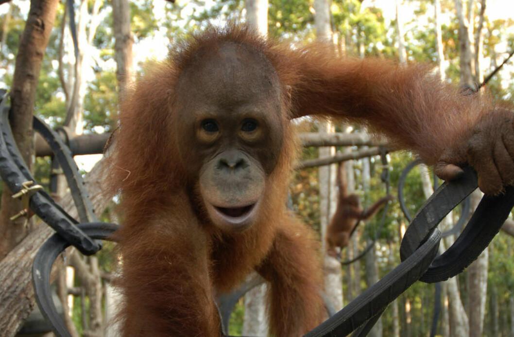 <strong> MIDTLIVSKRISE:</strong>  Ny forskning viser at også orangutanger er mindre glade midt i livet. Foto: Foto: NTBSCANPIX/REUTERS/Hardi Baktiantoro