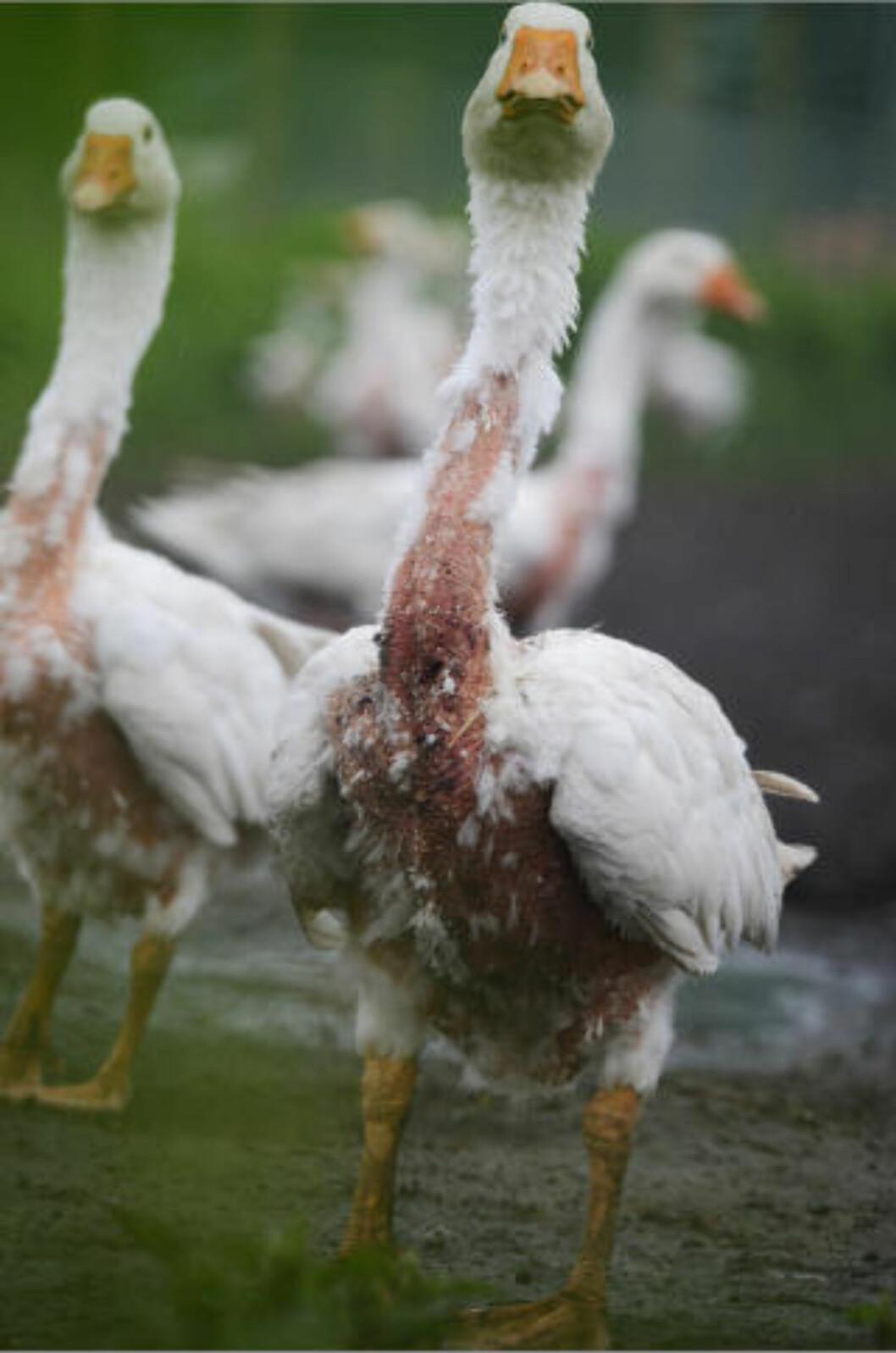 <strong>SMERTEFULLT:</strong>  EUs vitenskapskomité har fastslått at plukking er ekstremt smertefull for fuglene. Foto: Four paws / Farmwatch
