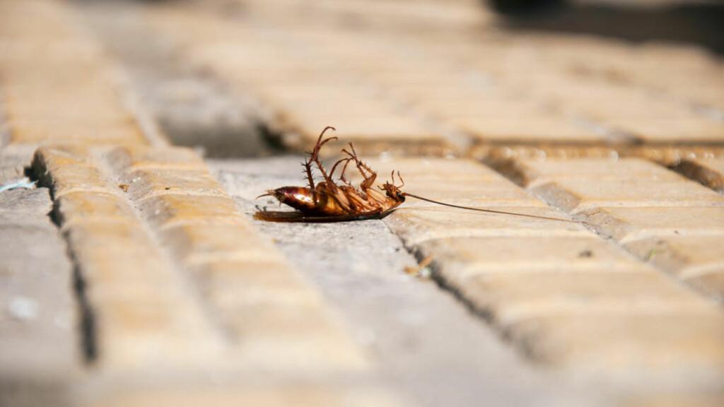 DØDE ETTER KAKERLAKK-SPISING: Edward Archbold (32) deltok i en konkurranse om å vinne en pytonslange, men døde etter å ha spist flere titalls kakerlakker, mark og insekter. Illustrasjonsfoto: Colourbox