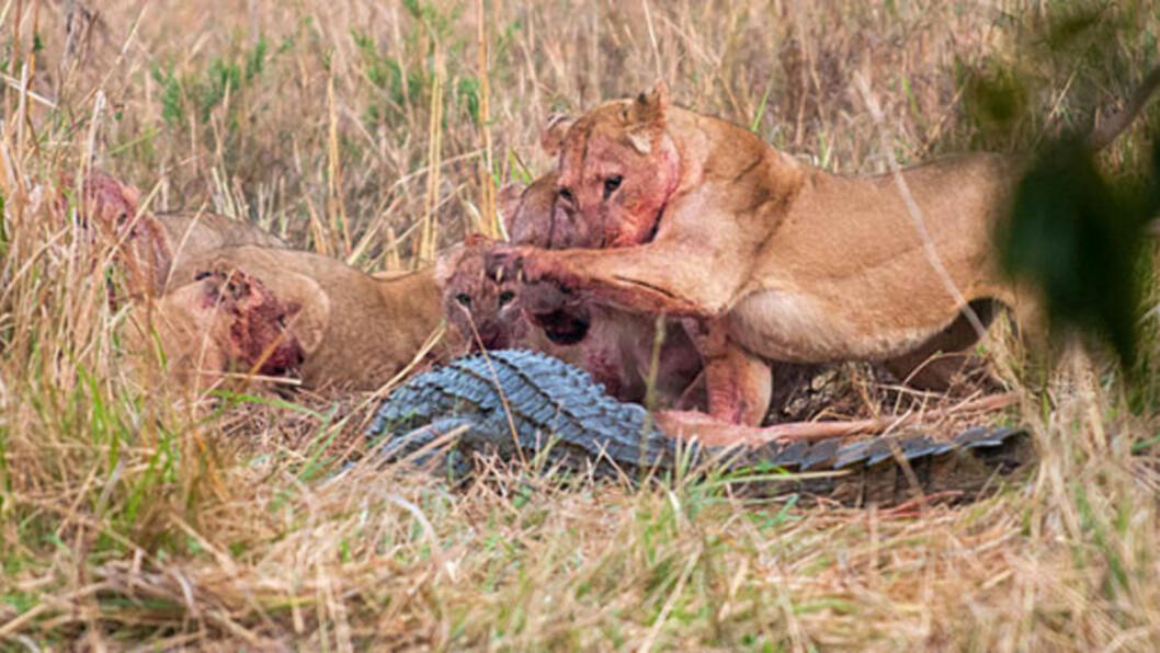 <strong>TAR IGJEN:</strong> Løvinnen går til angrep på krokodillen.