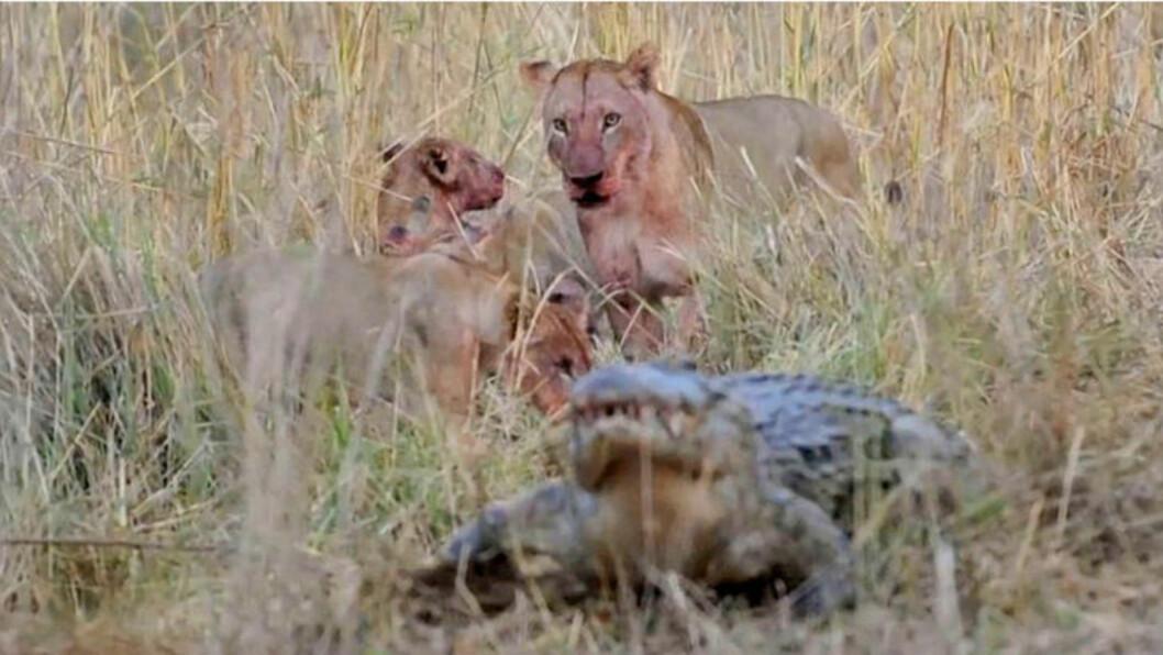 <strong>JAGES VEKK:</strong> Krokodillen skjønner at han er sjanseløs og tusler vekk, riktignok med en liten matbit fra løvenes fat.