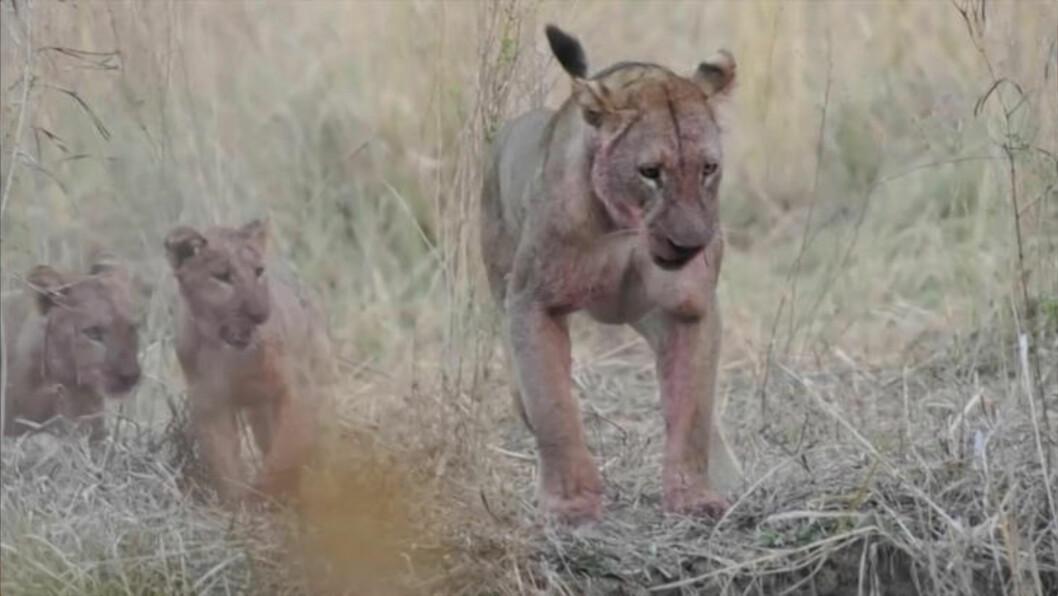 <strong>AGGRESSIVE:</strong> Den ene løvinnen sørger for at krokodillen virkelig er borte. Et par av valpene klarer heller ikke å holde seg unna når mamma viser seg fra sin tøffeste side.