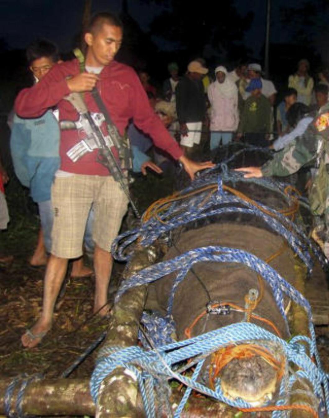 <strong>FANGET:</strong>  Det måtte over 100 mennesker til for å fange den gigantiske krokodilla. Foto: AP Photo/ NTB Scanpix