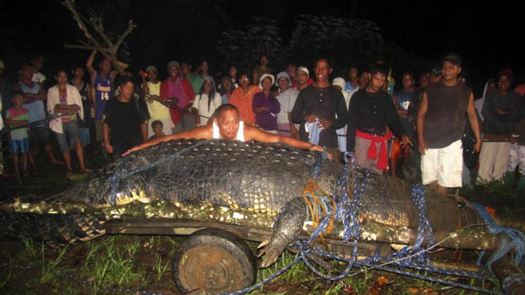 <strong>GOD OG RUND:</strong>  Det tok hele to år å fange den svære krokodilla «Lolond», som ble tatt i november i fjor. Over 100 personer deltok i arbeidet med å fange krokodilla. Foto: AP Photo / NTB Scanpix