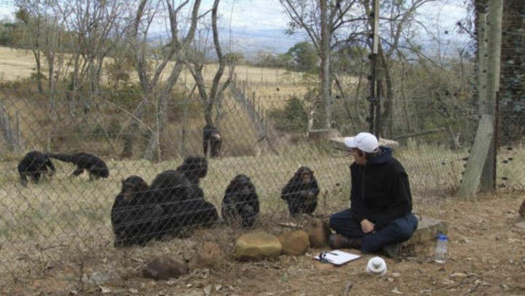 <strong>OBSERVERTE:</strong> Dette udaterte bildet viser Andrew Oberle som observerer sjimpanser. Foto: AP Photo/HelpAndrewOberle/NTBScanpix