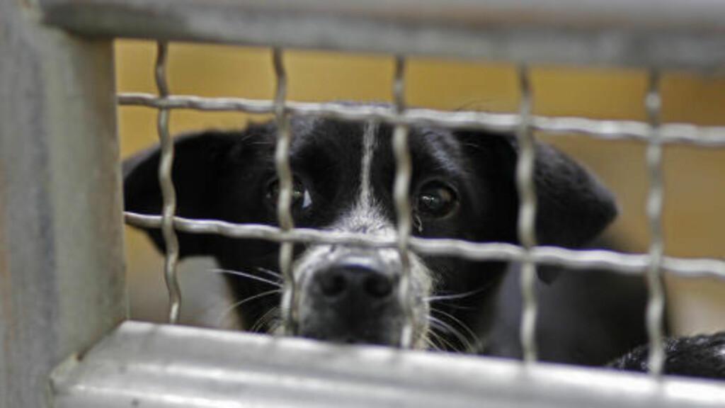 VENTER PÅ Å DØ: Dette triste blikket søker oppmerksomhet fra buret sitt ved hundehjemmet i Taoyuan. Foto: WALLY SANTANA / AP Photo / NTB SCANPIX