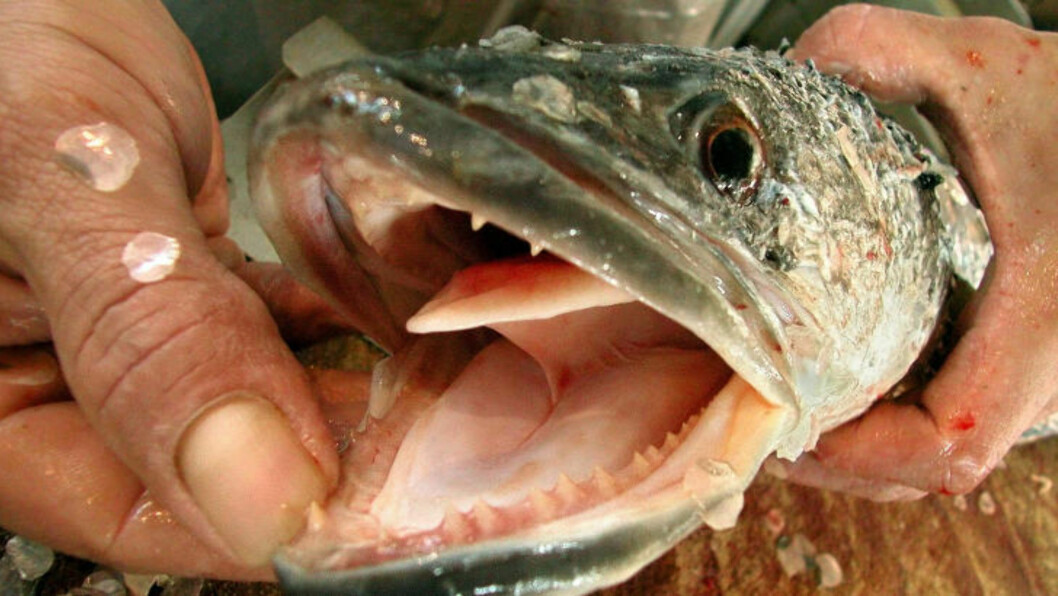 <strong>SKUDDPREMIE:</strong> Slangehodefisk sprer seg i amerikanske vann og fortrenger annen fisk. Så stort er problemet blitt at myndighetene lokker fiskere med skuddpremie. Foto: REUTERS/Jonathan Drake